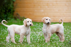 Afghan hound puppies walking outdoors Stock Photography