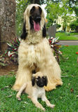 Afghan hound puppy and his dad Royalty Free Stock Photo