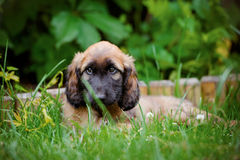 Afghan hound puppy lying down outdoors in summer Royalty Free Stock Images