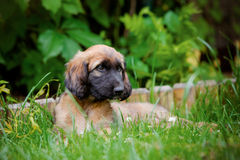 Afghan hound puppy lying down outdoors in summer Royalty Free Stock Image