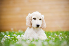 Afghan hound puppy lying down outdoors in summer Royalty Free Stock Photography