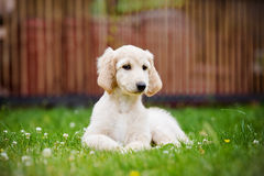 Afghan hound puppy lying down outdoors in summer Stock Photos