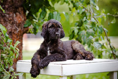 Afghan hound puppy lying down outdoors in summer Stock Image