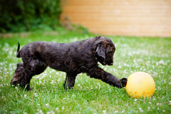 Afghan hound puppy playing with a ball Royalty Free Stock Image