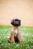 Afghan hound puppy sitting on grass Royalty Free Stock Image