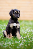 Afghan hound puppy sitting on grass Stock Photography