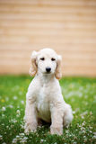 Afghan hound puppy sitting on grass Royalty Free Stock Images