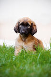 Afghan hound puppy sitting on grass Royalty Free Stock Photo