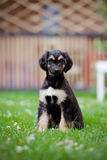 Afghan hound puppy sitting on grass Royalty Free Stock Photography