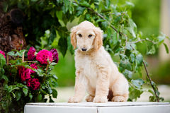 Afghan hound puppy sitting outdoors Stock Image
