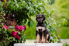 Afghan hound puppy sitting outdoors Royalty Free Stock Photo