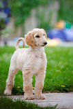 Afghan hound puppy standing outdoors Royalty Free Stock Image