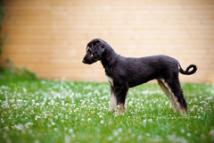 Afghan hound puppy standing outdoors in summer Royalty Free Stock Images