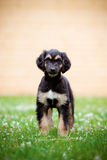 Afghan hound puppy standing outdoors in summer Stock Image