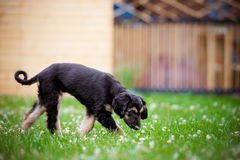Afghan hound puppy walking outdoors Stock Image
