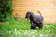 Afghan hound puppy walking outdoors Royalty Free Stock Photography