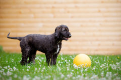 Afghan hound puppy walking outdoors Stock Photography