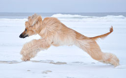 Afghan Hound running at the sea side Stock Image