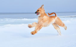 Afghan Hound running at the sea side Stock Photo