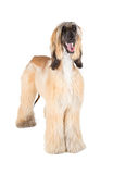 Afghan Hound. (Sage Balochi, Ogar Afgan, Eastern Greyhound, Persian Greyhound Royalty Free Stock Photo