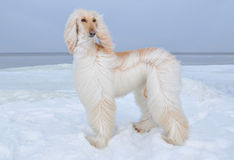 Afghan Hound standing at the sea side Stock Images