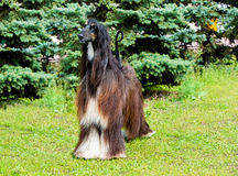 Afghan Hound stands. Royalty Free Stock Photos