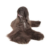 Afghan Hound Royalty Free Stock Photography