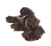 Afghan Hound Royalty Free Stock Photos