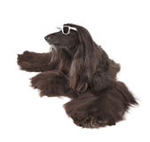 Afghan Hound Royalty Free Stock Images