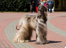Afghan Hound waits. Stock Images