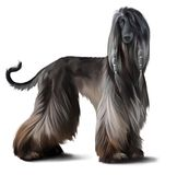Afghan hound watercolor drawing Royalty Free Stock Photo