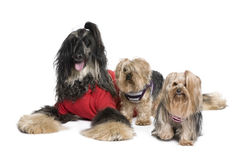 Afghan Hound and Yorkshire dogs. Sitting in front of white background, studio shot Stock Images
