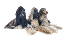 Afghan hounds Royalty Free Stock Images