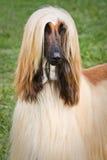 afghan hund Royaltyfri Bild