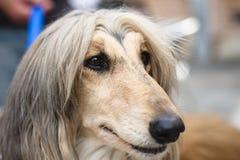 afghan hund Royaltyfri Foto
