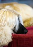 afghan hund Arkivbild