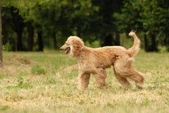 afghan hund Fotografering för Bildbyråer