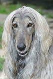 afghan hund för hundhuvud Royaltyfri Fotografi