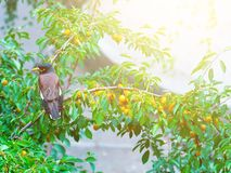 Afghan thrush. Sits on a tree at sunny day stock photos