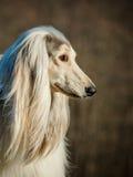 Afghanischer Hund Lizenzfreie Stockfotos