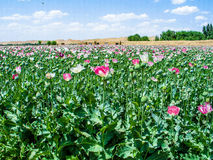 Afghanistan poppy fields Royalty Free Stock Photography