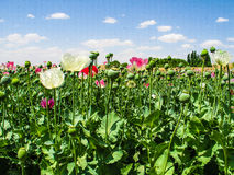 Afghanistan poppyfields Royalty Free Stock Photo