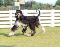 Afghansk hund royaltyfri bild