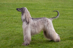 Afghansk hund Royaltyfri Foto