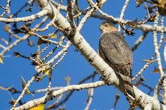 Afiado Shinned Hawk Perched High nos membros desencapados de Autumn Tree fotos de stock