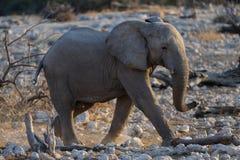 Afican słoń Zdjęcia Stock