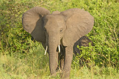 Afircan Elephant in bush Royalty Free Stock Photo