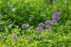 Aflatunense d'allium d'oignon fleurissant Photo stock