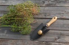 Aflatunense del allium de los bulbos en un fondo de madera Foto de archivo libre de regalías