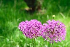 Aflatunense dell'allium - fiori rosa porpora del PF della foto confusa su fondo verde Fotografia Stock